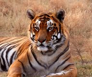 Tiger. Lying down in field Stock Images