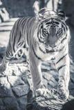 Tiger Arkivbild