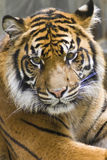 Tiger. Young sumatran tiger captured with a somber look stock photography