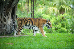 Tiger. Bengal Tiger Walking in the Grass in front of Trees Royalty Free Stock Photos