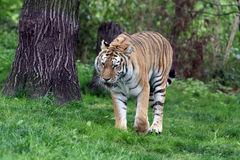 Tiger. Siberian tiger from zoo walking on grass Royalty Free Stock Photo