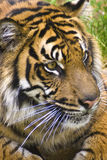 Tiger. Young sumatran tiger captured with the curious look of a young cub stock photography