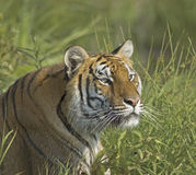 Tiger. Staring at potential prey Royalty Free Stock Images
