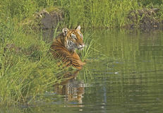 Tiger. Cooling off in pond Royalty Free Stock Photo