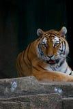 Tiger. Laying Down at the Zoo Royalty Free Stock Photo