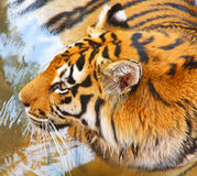 Tiger. Close up of the tiger's muzzle Stock Photos