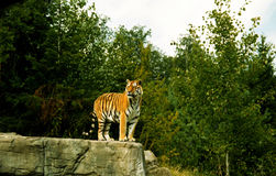 Tiger. Looking Out Royalty Free Stock Photo