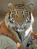 Tiger Arkivbilder