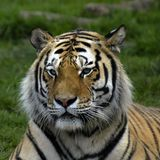 Tiger. Head tacken at dartmoor wildlife park Stock Photo