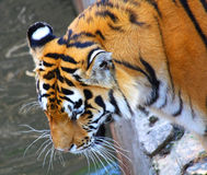 Tiger. Close up of the tiger muzzle Royalty Free Stock Photos