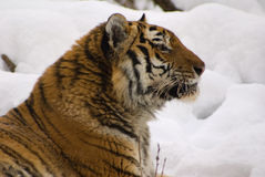 Tiger. In center of the rehabilitations animal Stock Images