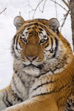 Tiger. In center of the rehabilitations animal Stock Photo
