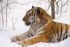 Tiger. In center of the rehabilitations animal Royalty Free Stock Photography