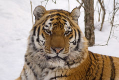 Tiger. In center of the rehabilitations animal Stock Photography