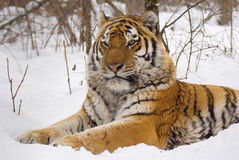 Tiger. In center of the rehabilitations animal Stock Photos