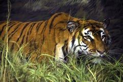 Tiger. A tiger predator in the savana Stock Image