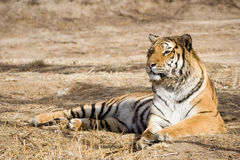 Tiger. A tiger lying down on the field in the daytime Stock Photography