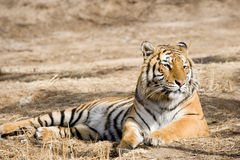 Tiger. A tiger lying down on the field in the daytime Royalty Free Stock Photo