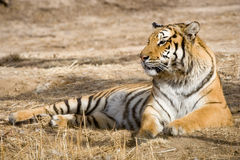 Tiger. A tiger lying down on the field in a sunny day Royalty Free Stock Image