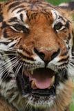 Tiger. (Panthera tigris) portrait stock images