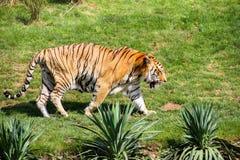 Tiger stockfotografie