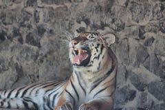 Tiger royaltyfria bilder
