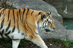 Tiger. Walking in zoo Stock Photography