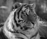 Tiger Lizenzfreie Stockfotografie