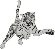 Tiger. Grey tiger isolated on the white background Stock Photos