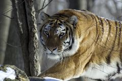 Tiger. Stalking Prey royalty free stock images