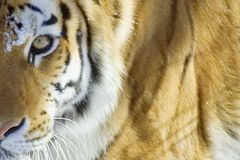 Tiger. Closeup stock photography