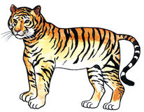 Tiger. Wild animal beast attacj Royalty Free Stock Image
