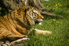 Tiger. Resting on the green grass Stock Images