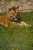 Tiger. Resting on green grass Royalty Free Stock Photo