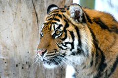 Tiger. Close up of a Siberian Tiger Stock Photos