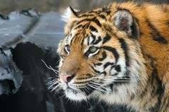 Tiger. Close up of a siberian tiger Royalty Free Stock Photography