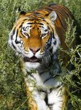 Tiger. With open mouth in the grass royalty free stock photo