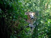 Tiger Stockbild