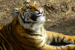 Tiger. Portrait looking up Stock Image