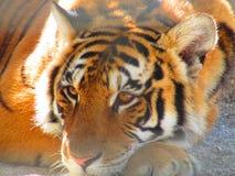 Tiger Arkivfoto