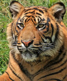 Tiger. Close up portrait of a beautiful young male tiger cub 10 months old Royalty Free Stock Image