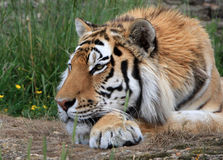 Tiger. Portrait of a beautiful tiger relaxing with his head on his paw royalty free stock photography