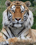Tiger. Portrait of a beautiful fully grown male tiger Stock Photo