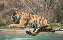 Free Tiger About To Land In The Swimming Pool Stock Image - 115001431
