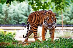 Tiger Above Green Grass during Day Time Stock Photo