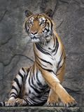 Tiger action. Tiger action sitting are looking something.Tiger staring directly at camera with eyes. Tiger action wildlife scene, wild, face cat, nature habitat royalty free stock image