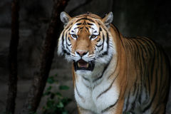 Tiger Against Black Royalty Free Stock Photography