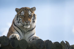 Tiger against blue sky. Tiger, alert, against blue sky Royalty Free Stock Photography