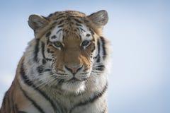 Tiger against blue sky. Tiger, alert, against blue sky Stock Photography