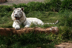 The tiger-albino lays on a grass. In a zoo Royalty Free Stock Images